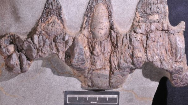 Image of 80-million-year-old fossil from marine reptile