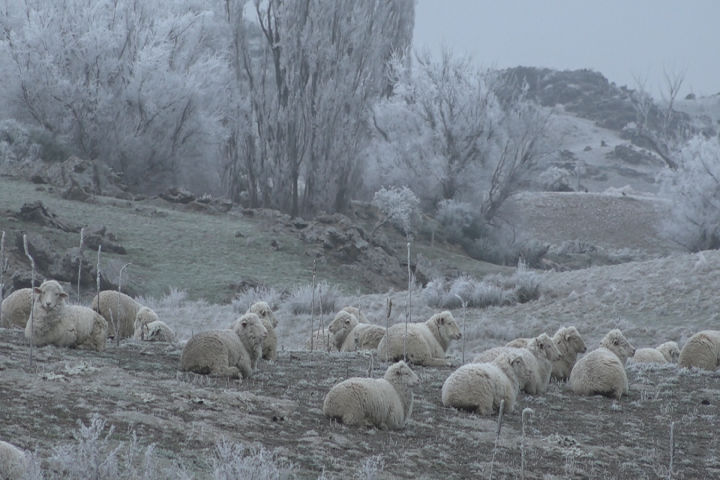 Frosty landscape with sheep huddled together