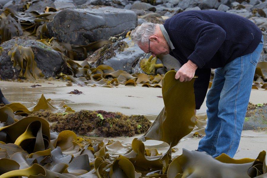 Tiny Metzer gathering kelp