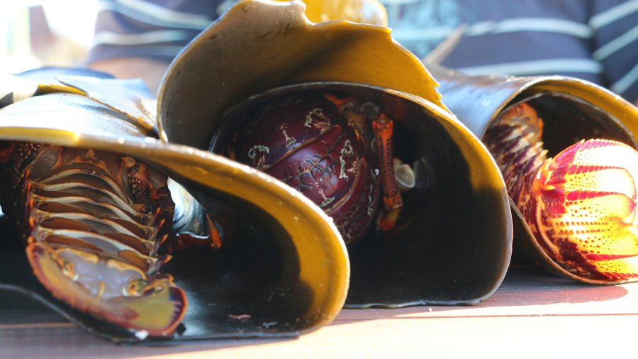 Koura in their shells wrapped in kelp