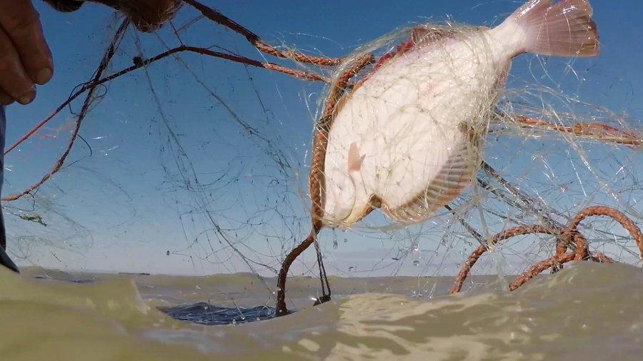 Pātiki (flounder) caught in a net