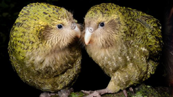 ecology definitions kakapo takahe Jennifer a moore (e-mail: jennifermoore@vuwacnz) is a doctoral candidate in the allan wilson centre for molecular ecology and evolution at victoria university of wellington in new zealandben d bell and wayne l linklater are with the centre for biodiversity and restoration ecology, school of biological sciences, victoria university of wellington.