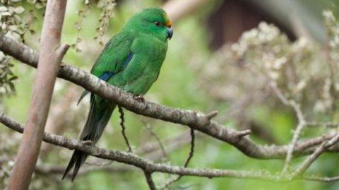 Kākāriki - Photo / Department of Conservation NZ
