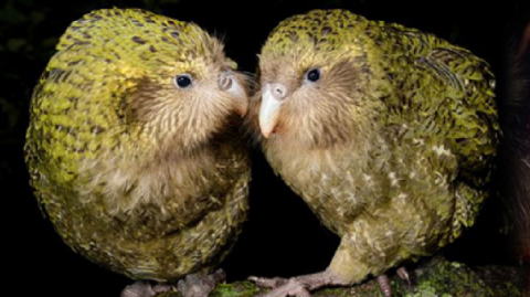 Kākāpō - Photo / kakaporecovery.org.nz